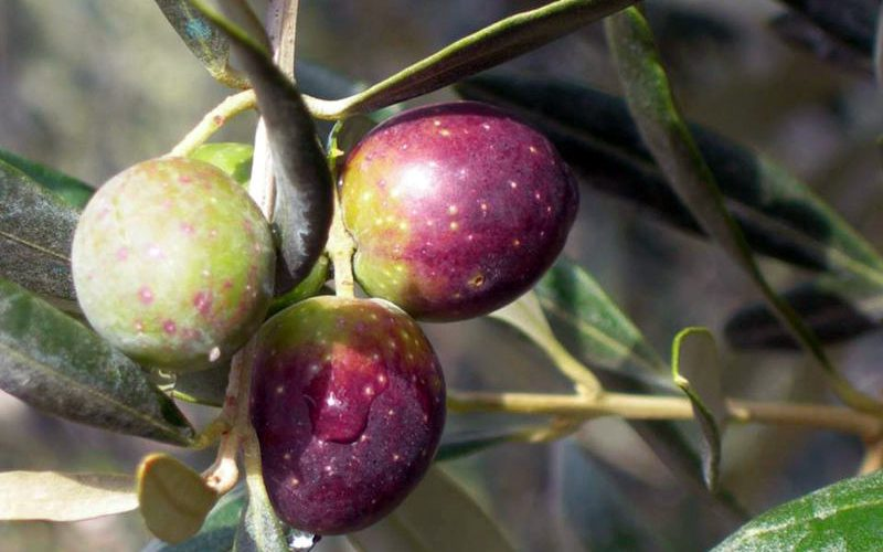 Valorizzazione e promozione dell'oliva cultivar Itrana | Itinerarinelgusto