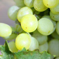 Die australische Weintradition